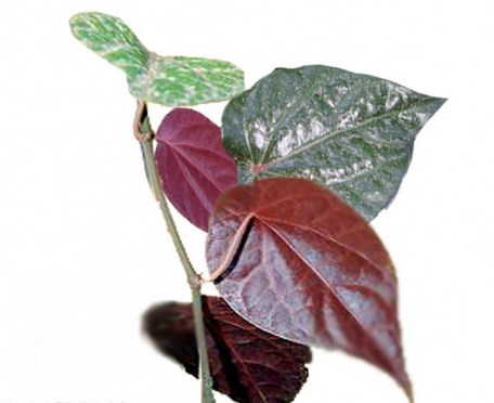 Hasil gambar untuk daun sirih merah